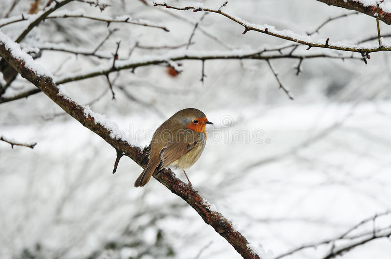 Download Robin in the snow stock photo. Image of robin, erithacus - 12533904