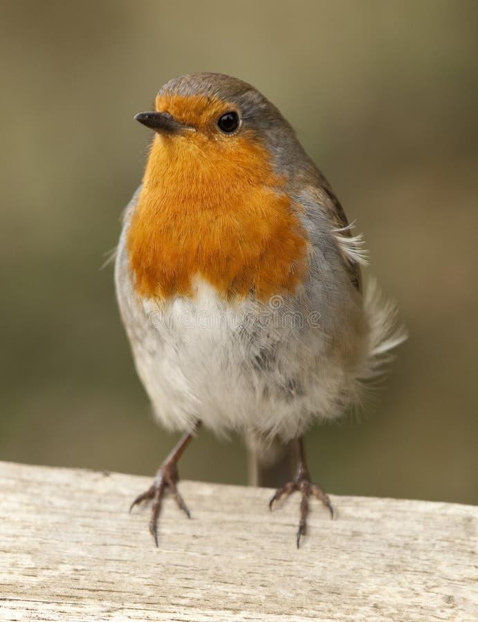 Robin stand auf einem Zaun, der die Kamera gegenüberstellt stockfotografie
