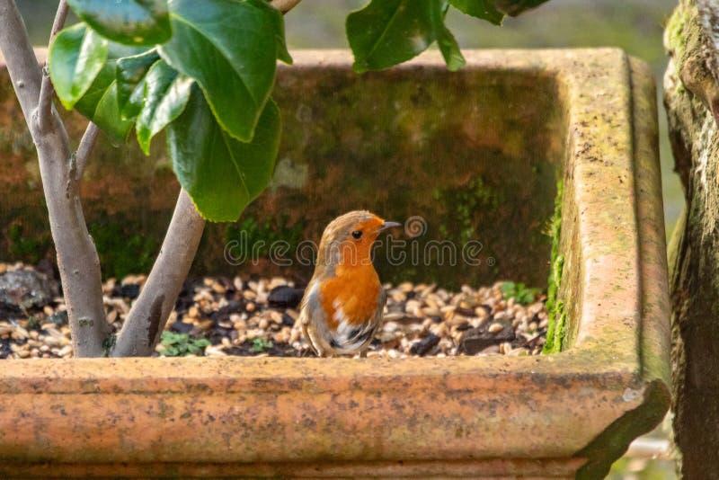 Robin Standing curieux dans un pot de fleur photos libres de droits
