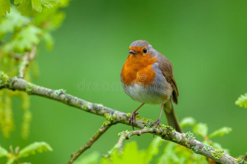 Robin streek op een bloeiende eiken tak neer stock foto