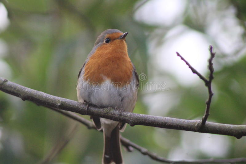 Robin su un ramo immagine stock