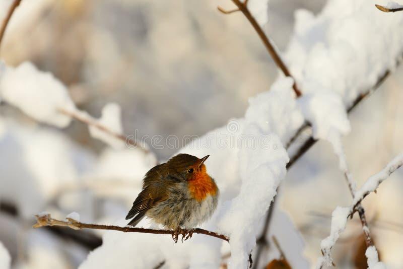 Robin sul ramo fotografia stock