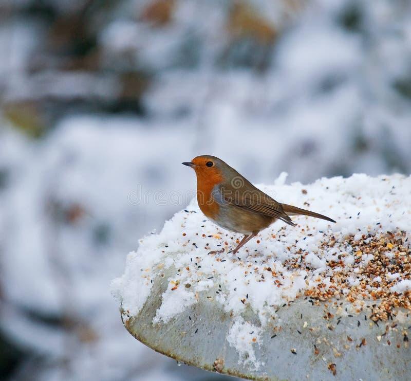 Robin sull'alimentatore in neve fotografie stock