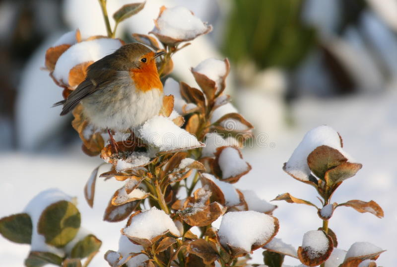 Robin sur le branchement de neige photo stock