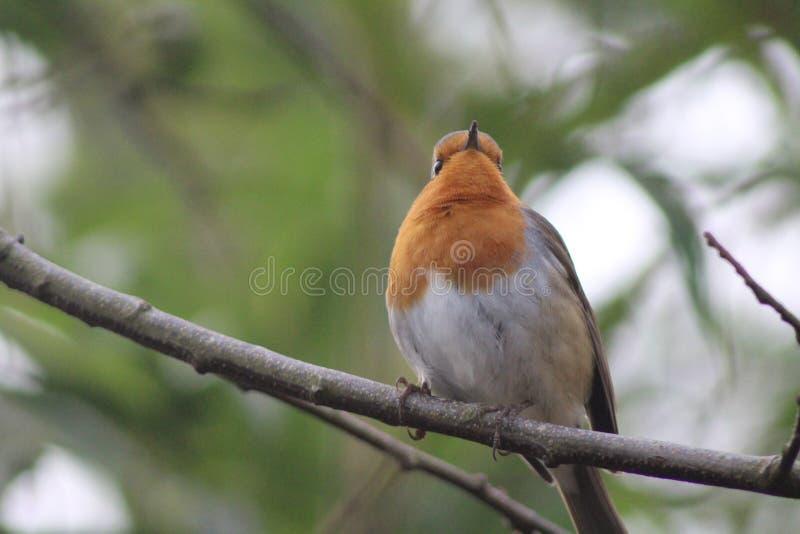 Robin sur une branche images libres de droits