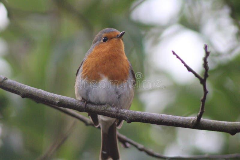 Robin sur une branche image stock
