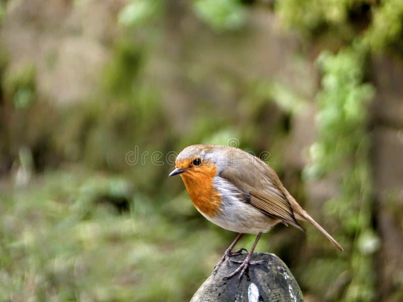 Robin sur une roche photo stock