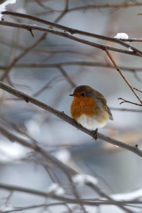 Robin tijdens de koude winter stock foto
