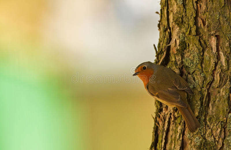 Robin at the tree trunk royalty free stock photo