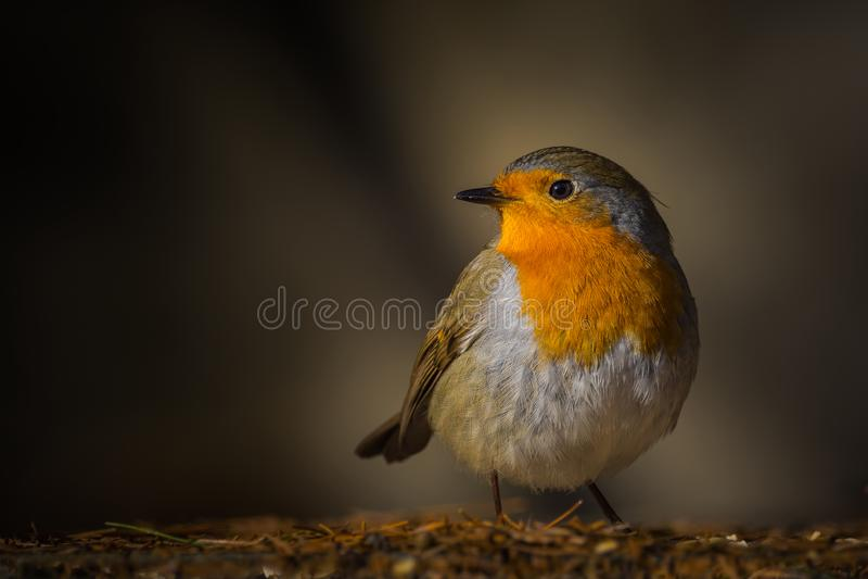 Robin-Vogel mornig Licht lizenzfreie stockfotos