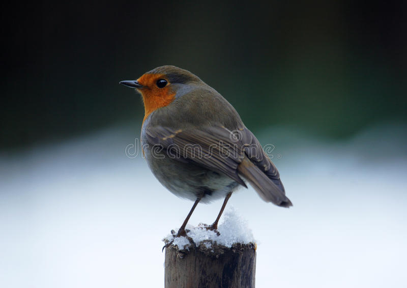 Robin in winter royalty free stock image