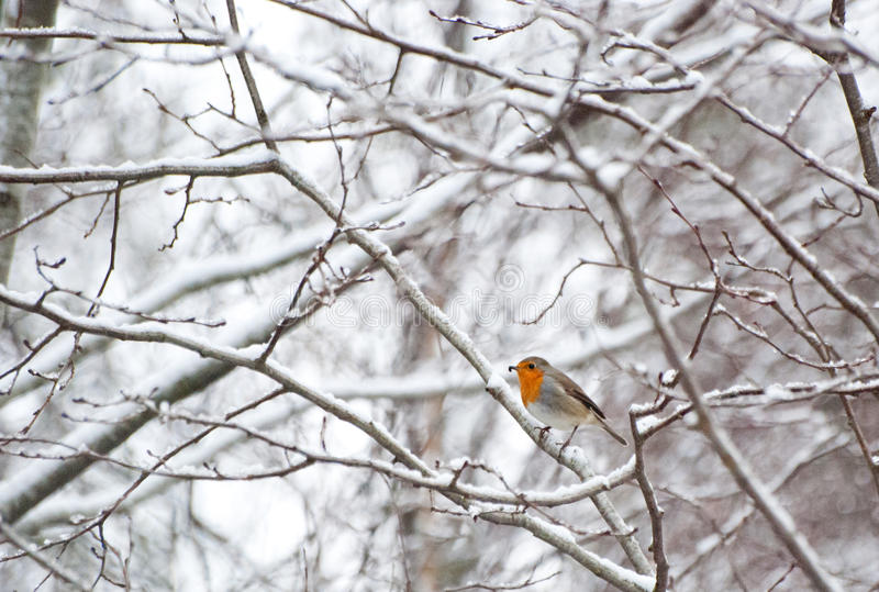 Robin in winter. It is a photo of a Robin in winter. Snowy branches give a perfect background royalty free stock photography