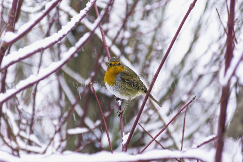Robin in winter woodland stock photo
