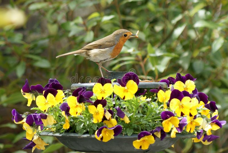 Robin, worm and pansies stock image