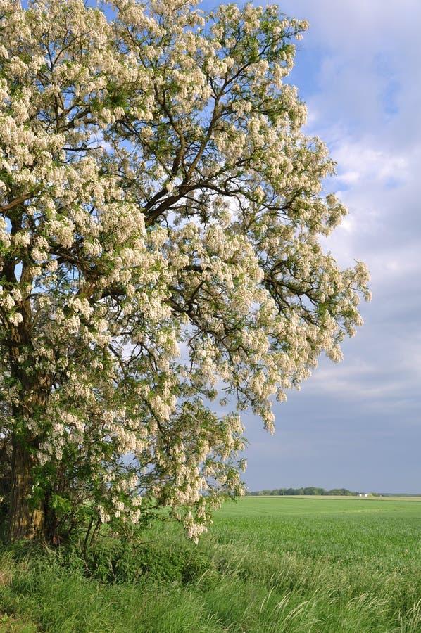 robinia pseudoacacia στοκ φωτογραφίες με δικαίωμα ελεύθερης χρήσης