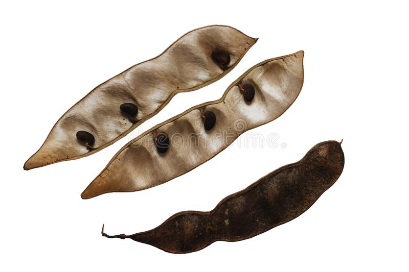 Robinia pseudoacacia or black locust pods stock images