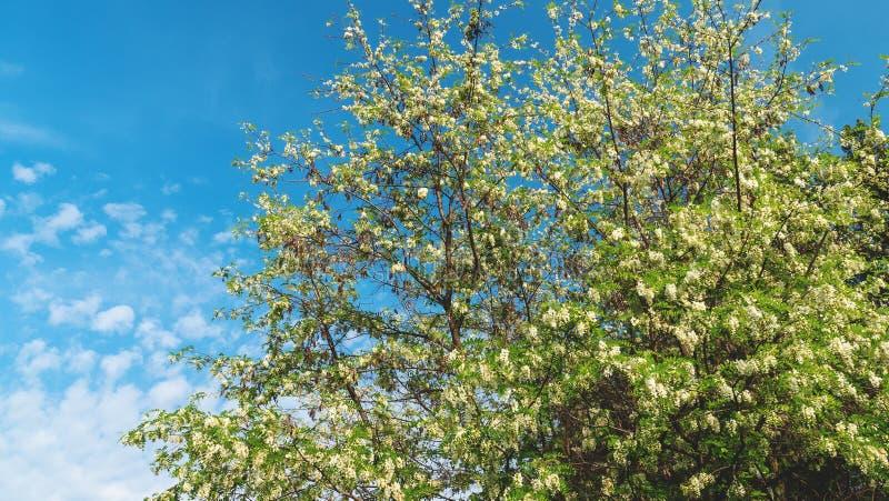 Robinia pseudoacacia o acacia falsa con i fiori bianchi di fioritura nel tempo di primavera, locusta verde dell'albero fotografia stock