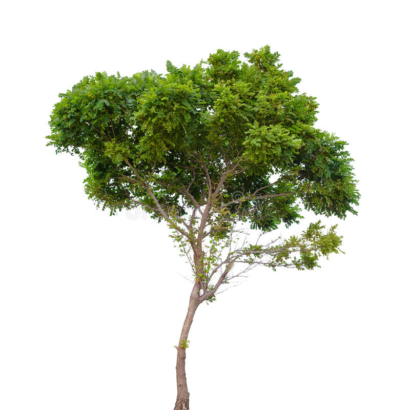 Robinia pseudoacacia. Small tree isolated stock photo