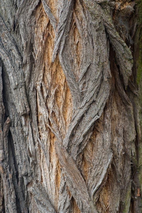 Robinia tree bark tecture bakground royalty free stock photo