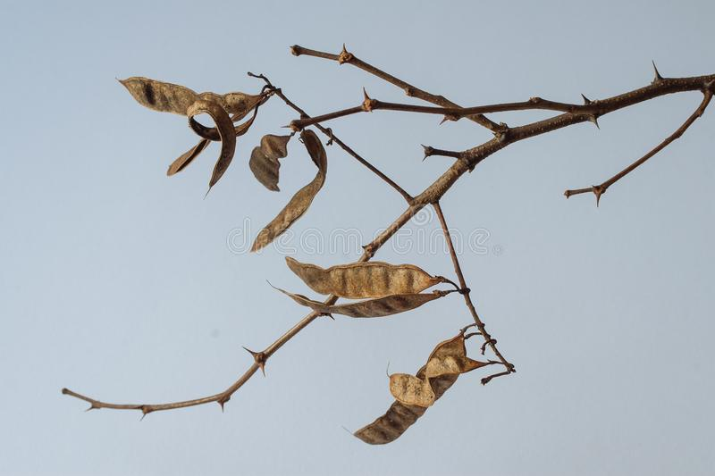 Robinia tree shoots with pods stock photo