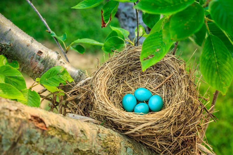 Robins eggs. Blue robins eggs in a nest on a tree in Central Kentucky royalty free stock image