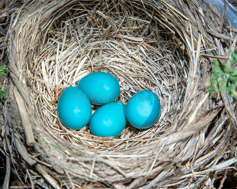 Robins Eier. lizenzfreie stockfotos