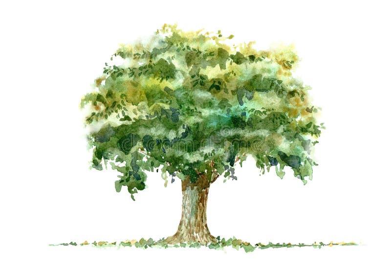 roble Árbol de hoja caduca watercolor stock de ilustración