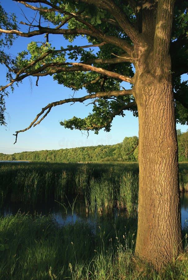 Roble-árbol viejo foto de archivo libre de regalías