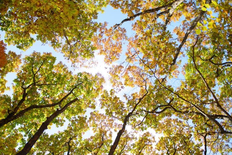 Roble brillante coloreado y hojas de arce rojos, amarillos y verdes en ?rboles en el bosque del oto?o imagen de archivo libre de regalías