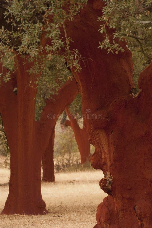 Roble de corcho después de la extracción del corcho, súber del quercus, Spai foto de archivo