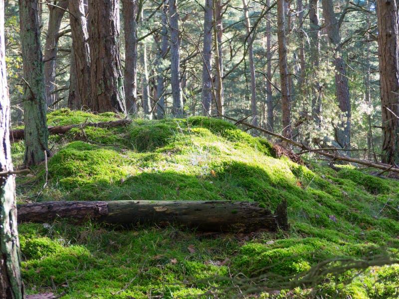Roble de madera de los árboles del paisaje del tronco de la corteza de árbol de la colina del musgo del bosque de maderas del árb foto de archivo libre de regalías
