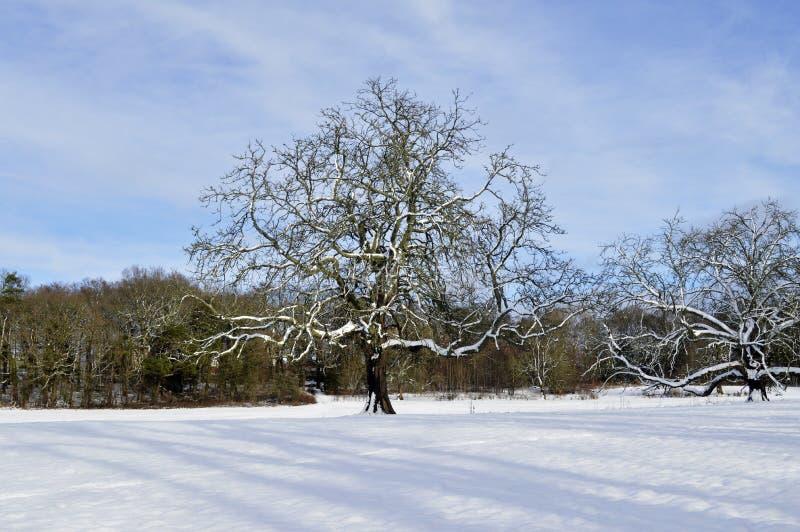 Roble del invierno imagen de archivo