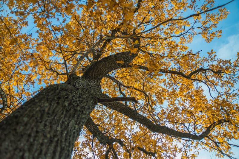 Roble del otoño imágenes de archivo libres de regalías