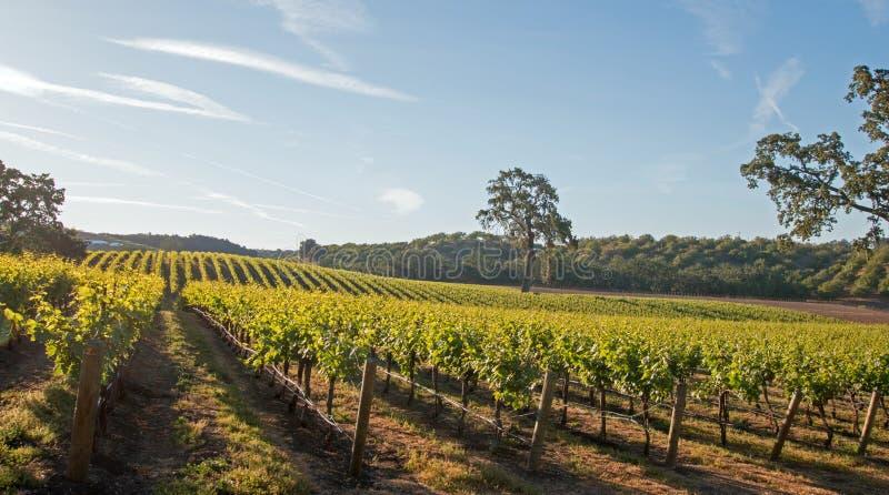 Roble del valle de California en viñedo en la salida del sol en el viñedo de Paso Robles en el Central Valley de California los E foto de archivo libre de regalías
