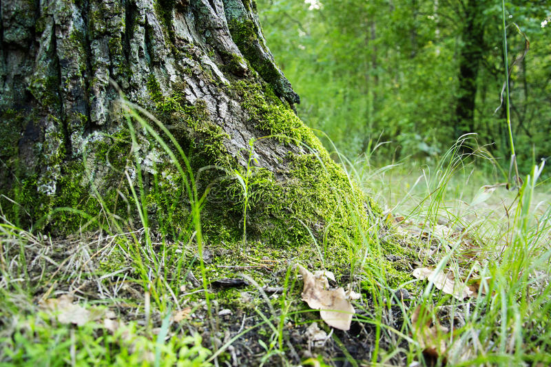 Roble en el bosque demasiado grande para su edad con el musgo fotos de archivo libres de regalías
