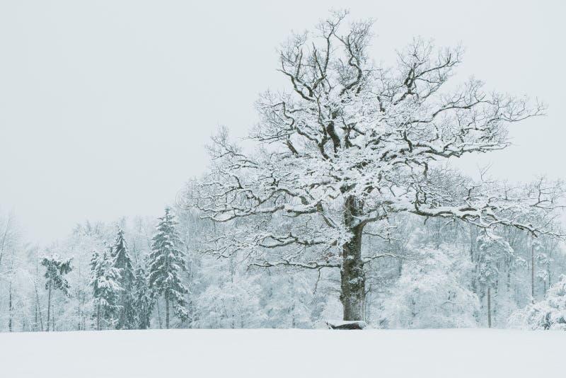 Roble en paisaje nevado foto de archivo libre de regalías