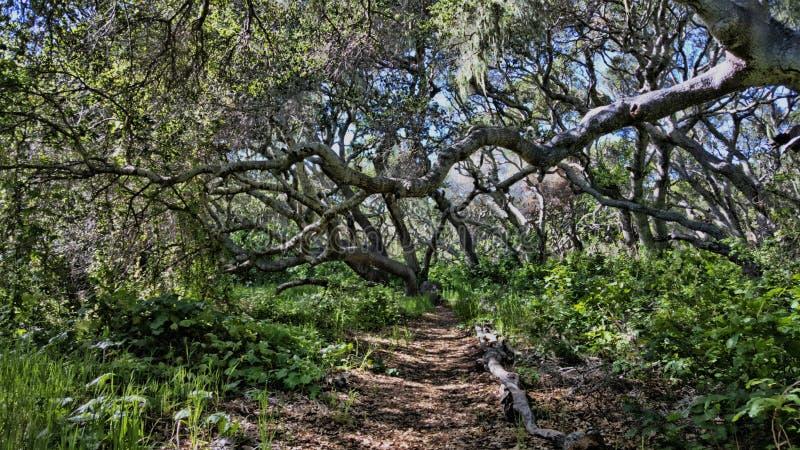Roble Forest Path foto de archivo