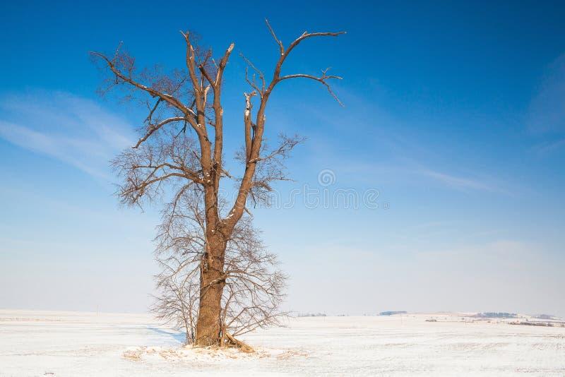 Roble memorable en el campo vacío del invierno fotografía de archivo libre de regalías