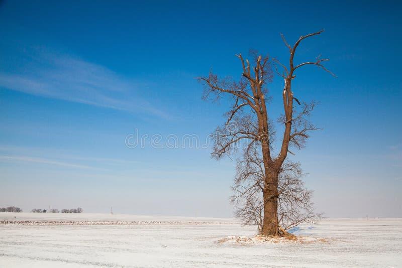 Roble memorable en el campo vacío del invierno imagenes de archivo