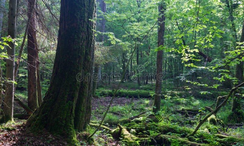 Roble monumental viejo TreeQuercus robur delante del soporte de hojas caducas imagenes de archivo