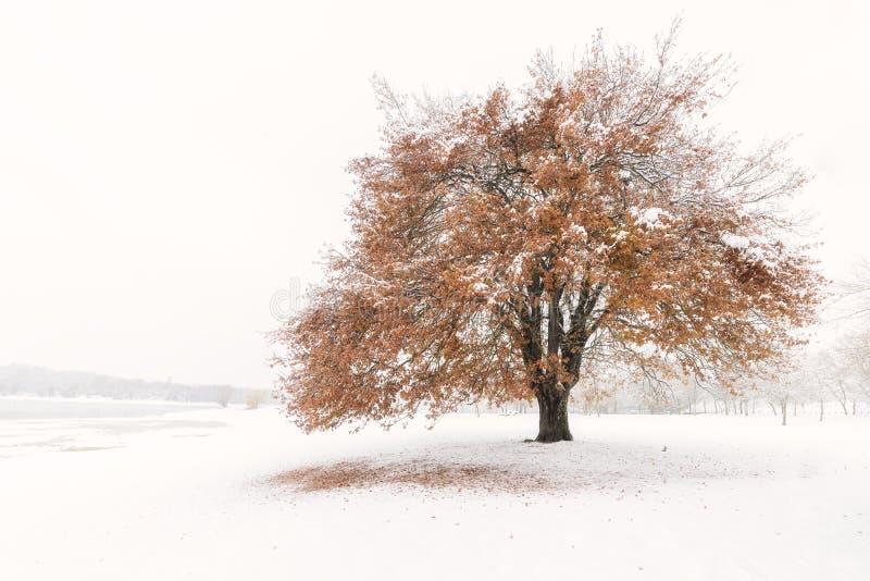 Roble nevado con las hojas del amarillo en Landa foto de archivo libre de regalías