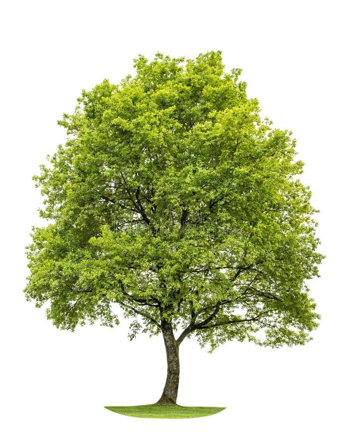 Roble verde aislado en el fondo blanco Objeto de la naturaleza imágenes de archivo libres de regalías