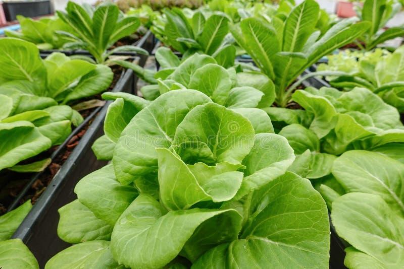 Roble verde con la granja hidropónica de la planta orgánica higiénica vegetal de la ensalada de la lechuga Cos fotografía de archivo