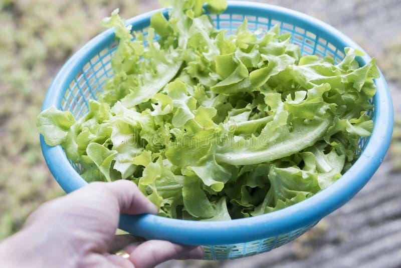 Roble verde en cesta azul Ensalada de las verduras de la frescura foto de archivo libre de regalías