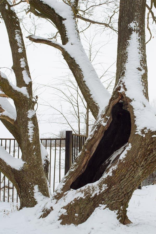 Roble viejo en invierno imagenes de archivo