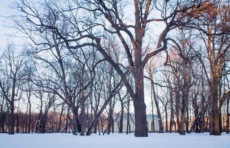 Roble viejo grande en parque del invierno fotografía de archivo