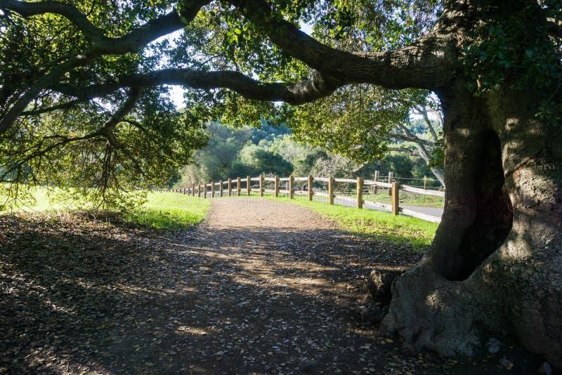 Roble vivo viejo que estira sus ramas sobre un rastro que camina foto de archivo libre de regalías