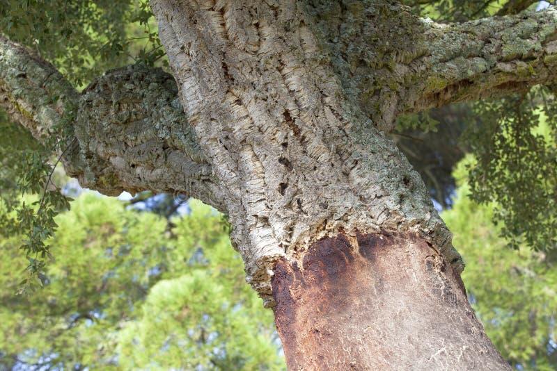 Robles del corcho en España foto de archivo