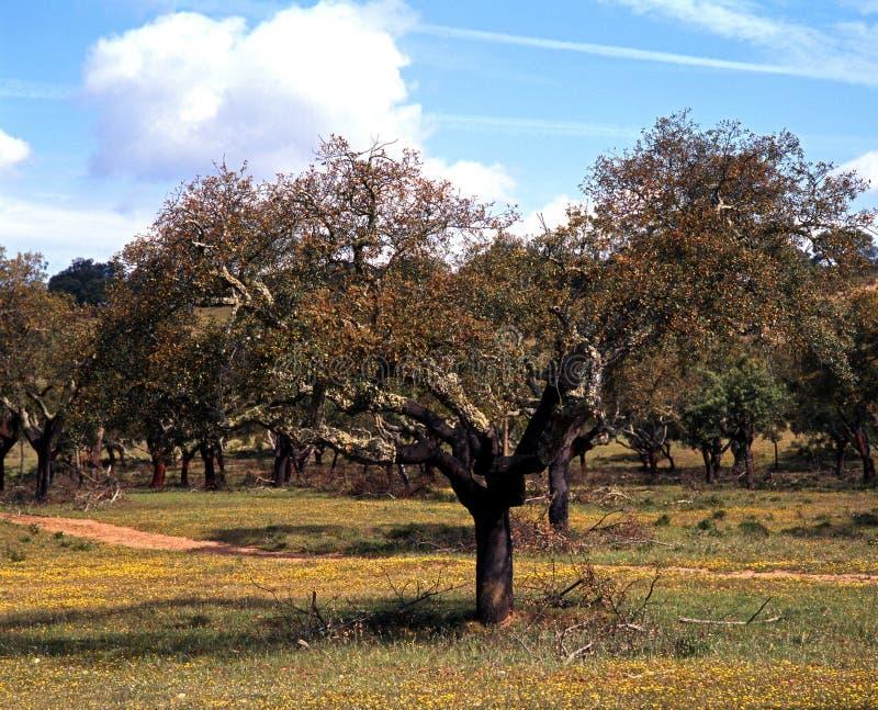 Robles del corcho, Portugal. fotos de archivo libres de regalías