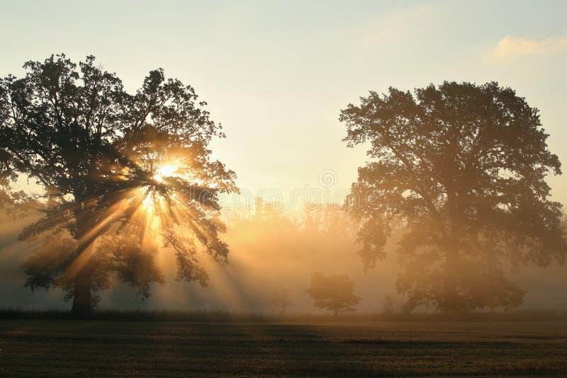 Robles en el campo en el amanecer fotografía de archivo libre de regalías